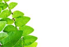美丽的绿色叶子 库存照片
