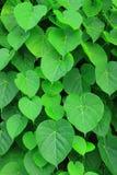 美丽的绿色叶子 免版税图库摄影