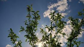美丽的绿色树在蓝天, timelapse下 影视素材