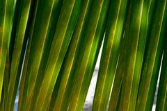 美丽的绿色棕榈叶特写镜头 明亮的背景 椰子棕榈叶在反对天空蔚蓝的一个温暖的夏日 图库摄影