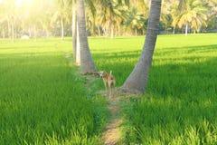 美丽的绿色米在亨比,印度调遣 棕榈树,太阳和 库存图片