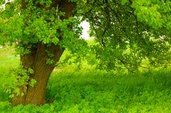 美丽的绿色结构树 库存图片