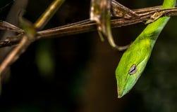 美丽的绿色藤蛇Ahaetulla nasuta边画象 库存图片