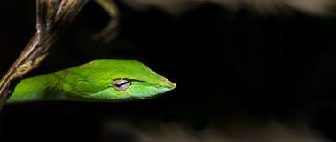 美丽的绿色藤蛇Ahaetulla nasuta 库存照片