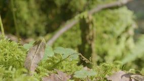 美丽的绿色青苔在阳光下 青苔在树,青苔美好的背景增长  在青苔,秋天,森林的叶子 影视素材
