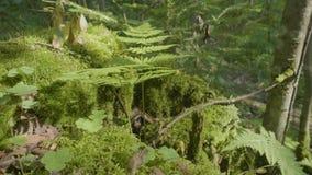 美丽的绿色青苔在阳光下 青苔在树,青苔美好的背景增长  在青苔,秋天,森林的叶子 股票视频