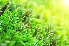 美丽的绿色青苔新芽在阳光下 库存图片