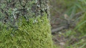 美丽的绿色青苔 青苔在树,青苔美好的背景增长  生叶在青苔,秋天,森林,自然 影视素材