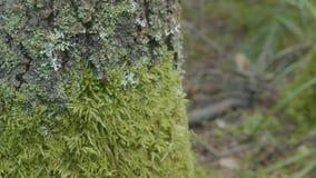 美丽的绿色青苔 青苔在树,青苔美好的背景增长  生叶在青苔,秋天,森林,自然 免版税库存照片