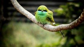 美丽的绿色食蜂鸟 免版税库存照片