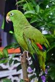 美丽的绿色鹦鹉在Panamà ¡的portobelo村庄 库存图片