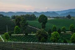 美丽的绿茶农场在日落的清莱,泰国 图库摄影