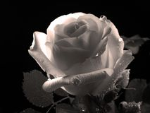 美丽的罗斯,黑白照片 库存图片