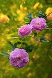 美丽的罗斯 免版税图库摄影