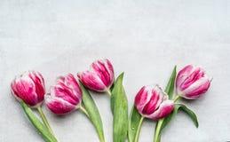 美丽的罗莎白色郁金香,在浅灰色的背景,顶视图的花卉边界 下雨 库存照片