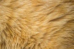 美丽的羊毛红色猫 免版税库存照片