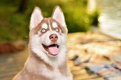 美丽的羊毛衫小狗狗纵向威尔士 免版税图库摄影