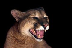美丽的美洲狮画象 免版税图库摄影