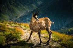 美丽的羚羊石山羊在自然生态环境 免版税库存图片