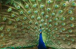 美丽的羽毛孔雀 图库摄影