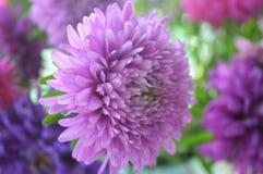 美丽的翠菊 库存照片