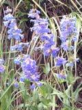 美丽的翠雀室外野花绽放 免版税库存图片