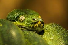 美丽的翠青蛇的面孔和眼睛 免版税库存图片