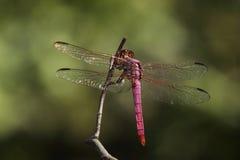 美丽的翼(蔷薇色漏杓) 免版税图库摄影