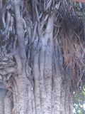 美丽的老茶树干 库存图片