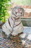 美丽的老虎在动物园里 免版税库存图片