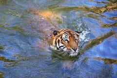美丽的老虎在水中的享受游泳 库存照片