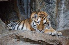 美丽的老虎 免版税库存照片