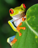 美丽的肋前缘注视青蛙绿色红色rica结&#2650 库存照片