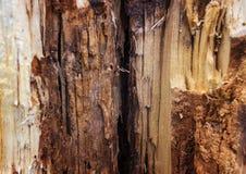 美丽的腐烂的树 免版税库存照片