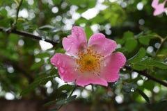 美丽的自然桃红色和白玫瑰用水滴下 图库摄影