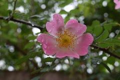 美丽的自然桃红色和白玫瑰用水滴下 库存照片