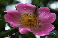 美丽的自然桃红色和白玫瑰用水滴下 库存图片