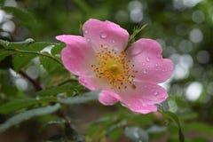 美丽的自然桃红色和白玫瑰用水滴下 免版税图库摄影