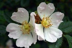 美丽的自然桃红色和白玫瑰用水滴下 免版税库存图片