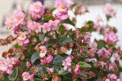 美丽的自然桃红色秋海棠花 盛开在豪华的秋海棠花园里 图库摄影