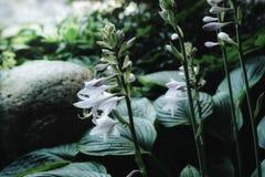 美丽的自然特写镜头玉簪属植物在庭院里 免版税图库摄影