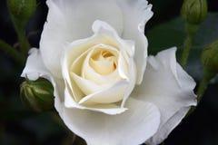 美丽的自然白玫瑰 图库摄影