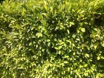 美丽的自然绿色叶子 免版税库存照片