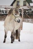 美丽的舍特兰群岛小马画象在冬天 免版税库存图片