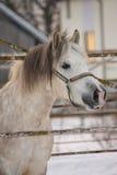 美丽的舍特兰群岛小马画象在冬天 图库摄影