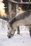 美丽的舍特兰群岛小马画象在冬天 免版税图库摄影