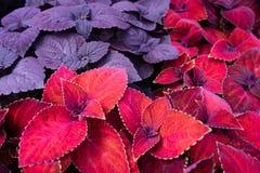 美丽的航路红色天鹅绒和紫色锦紫苏 库存图片