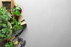 美丽的舱内甲板在灰色背景放置与园艺工具和植物的构成 免版税图库摄影