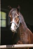 美丽的良种马画象在槽枥 库存照片