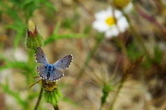 美丽的色情蓝色蝴蝶 库存图片